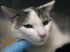 "BUN BUN - A1035178 - - Brooklyn  ***TO BE DESTROYED 05/23/15***SUPER SWEET AND AFFECTIONATE BETRAYED YOUNG HOUSE PET NEEDS YOU! Take a look at Bun Bun. He is a friendly, playful good boy who was surrendered because his owners did not want him anymore. You may wonder how anyone could give up such a lovely and loving animal whom was described by his former family as ""super gentle and sweet."" So do we! Even upon surrender, Bun Bun meowed and tolerated all handling and he h"