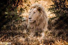 #Leone #Lion South Africa foto di Girolamo Monteleone