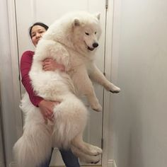 Samoyeds are the fluffiest things to walk this planet. | 21 Reasons Why Samoyeds Are Perfect Clouds Of Joy
