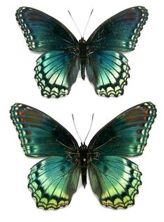 buy butterflies that were raised on different butterfly farms around the world. The Butterfly Company has unmounted unspread butterflies for sale.