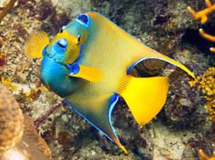 Queen angelfish - by Mike Robinson Aquariums, Saltwater Angelfish, Reptiles, Salt Water Fish, Fish Tales, Aquarium Ideas, Live Coral, Live Fish, Water Life