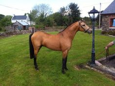 Ballyseedy Jacko Pony At Stud Hunter Show Pony Not Connemara breed. Grandson of Strynesdale Matador on the sire side and Cusop fingerprint on the dam side. Dam is all Ireland champion Ballyseedy Supreme sire is Pickmere Antonio. Stands at 14 2. Outstanding  movement.#xtor=CS1-41-[share]