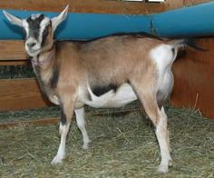 Alpine goat does | Harmony Mountain Ranch - Alpine Goats - Does....come in many color variations