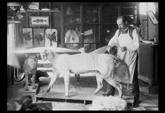 """William Hornaday working on Tiger model, taxidermy, from 8"""" x 10"""" glass plate. This image was obtained from the Smithsonian Institution - Washington, DC - USA Photograph by John Dillaber    William Hornaday was an American zoo keeper, conservationist and taxidermist. He wound that mounting the animals to display and teach others justified their death. The animals are displayed show their wild and dangerous nature."""