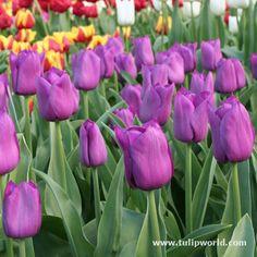 tulipa 'Purple Prince' - Google-haku