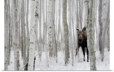Ward Hulbert Premium Thick-Wrap Canvas Wall Art Print entitled Moose hides in ice fog and birch trees, Kincaid Park, Anchorage, Southcentral Alaska Moose Pictures, Framed Art Prints, Canvas Prints, Deer Family, Painting Snow, Majestic Animals, Sale Poster, Canvas Wall Art, Big Canvas