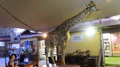 Giraffe Goes Tourist  ... from PetsLady.com ... The FUN site for Animal Lovers