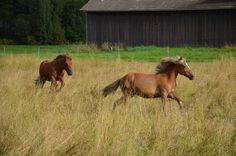 Aamun Hurmo and Konkari 2012 #Finnhorse