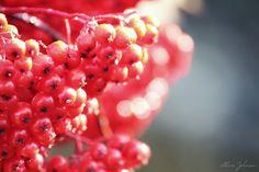 Autumn Berries -- Photo by Alicia Johnson @ali_j0hnson #SaintJohn #NewBrunswick #Canada #Autumn #October #Photography #scenes #backgrounds #berries #beautiful #nature