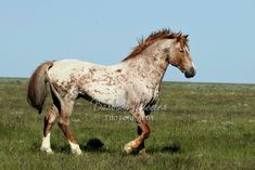 Strawberry Roan Mustang with many battle scars called Corn Marks. Most Beautiful Horses, All The Pretty Horses, Horse Girl, Horse Horse, Horse Stalls, Horse Barns, Horse Markings, Appaloosa Horses, Breyer Horses