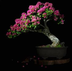 Bougainvillea spectabilis--this is beautiful.