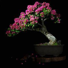 Roberto Serbanescu, Valencia, Venezuela Trinitaria (Bougainvillea spectabilis) #bonsai #Bougainvillea