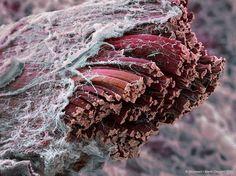 sección fibras músculo microscopio electronico #science #microscope