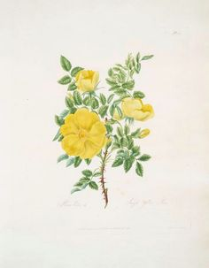 new to site Rosa Lutea = Single Yellow Rose.