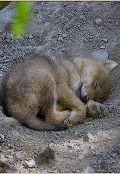 "the-smiling-wolf: ""😊🐺💖 "" Sleeping Wolf, Sleeping Animals, Sleeping Puppies, Cute Little Animals, Cute Funny Animals, Beautiful Wolves, Animals Beautiful, Rare Animals, Animals And Pets"
