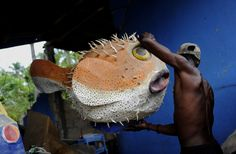 Paper Mache Fish | ... mache artist moves his puffer fish mask to safety his artwork sat in