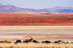 Africa | Lone oryx in the namib desert - the paint effect comes from the heat  | © Stephan Brauchli