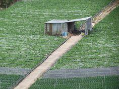 Bon tea plantations in Ipoh, Malaysia