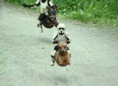 Stormtrooper chihuahua image by on Photobucket Funny Animals, Cute Animals, Flying Dog, War Dogs, Weenie Dogs, Doggies, Dachshund Love, Funny Dachshund, Daschund