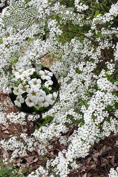 ▶개화주의보(032) 조팝나무 → http://fb.com/blooming.news/photos/1706808229600017