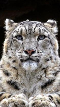 Snow leopard, majestic - Leopardo de las nieves, majestuoso.