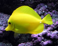 Yellow Tang (Zebrasoma flavescens) is a saltwater fish species, in the surgeonfish family. Adult fish can grow to 7.9 inches in length, and 0.39–0.79 inches in thickness. Adult males tend to be larger than females. All individuals of this species are bright daffodil yellow in color. At night, the yellow coloring fades slightly and a prominent brownish patch develops in the middle with a horizontal white band. They rapidly resume their bright yellow color with daylight. ~ Bubbles