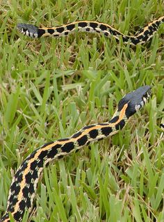 Black-Necked Garter Snake... WOW never saw one like this before... so pretty!