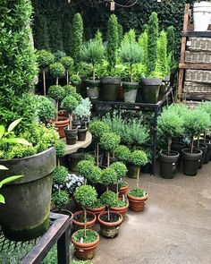 15 Unique and Beautiful Container Garden Ideas-Topiaries-Topiary-Clay Pots Topiary Plants, Topiary Garden, Garden Planters, Garden Shop, Dream Garden, Outdoor Plants, Outdoor Gardens, Chicken Garden, Garden Works