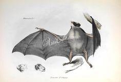 D'Orbigny Vampire Bat   ...