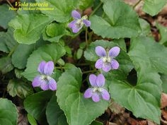 Viola sororia - COMMON BLUE VIOLET - VIOLACEAE