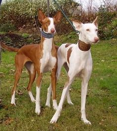 Ibizan Hound - Dog-site