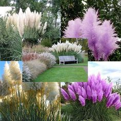 Planning to grow plants in your garden? Purple pampas grass is a must! Florida Landscaping, Front Yard Landscaping, Garden Seeds, Garden Plants, Purple Pampas Grass, Plantar, Ornamental Grasses, Growing Plants, Dream Garden