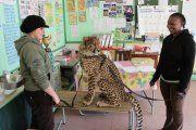 Yeats the ambassador cheetah in training as a cub