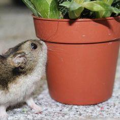 Here´s our hamster Minmin. Tässä on meidän hamsteri Minmin.
