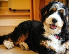 Tips And Tricks For Training Your Dog Cute Puppies, Cute Dogs, Dogs And Puppies, Doggies, Bernedoodle Puppy, Goldendoodle, Dog Breed Info, Doodle Dog, Puppy Pictures