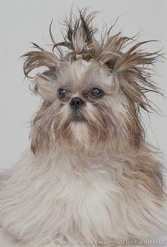 Portrait of a Shih Tzu   Jean-Pierre Collin http://www.natureanimale.com/-/galeries/chiens/-/medias/3148c208-dc14-11e2-8473-8907203f4695-chiens-de-race-bedlington-terrier