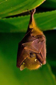 Fruit bat, so sweet.
