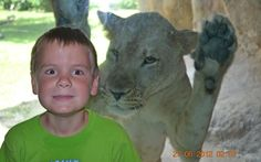 A father captured his son's close encounter with a lioness during a visit to Zoo Miami. Alex Hawker, 7, was standing in front of the lion's cage - separated by only a glass screen - when his dad Sean captured the moment a prowling lioness lunged at the youngster  Picture: SPLASH NEWS