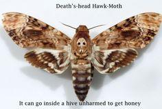 Death'shead hawk moth