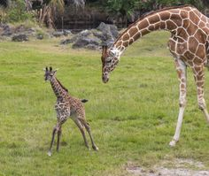 A baby Giraffe born November 29 recently made her public debut at Florida's Brevard Zoo.