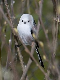 "Too cute bird ""Shimaenaga"" Japanese Long Tailed Tit Cute Birds, Pretty Birds, Small Birds, Little Birds, Beautiful Birds, Animals Beautiful, Birds Pics, Animals And Pets, Cute Animals"