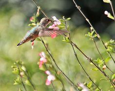 Nothing as graceful as a Hummingbird. Hummingbird Garden, Hummingbird Tattoo, Small Birds, Colorful Birds, Hello August, Coral Garden, Flying Flowers, Bird Theme, Bird Watching