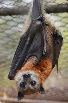 Flying Fox Related to The Bat Family as unlike most Bats who drain from Cows as known as The Vampire Bat as it drains blood The Flying Fox eats Fruit (Australia) Nature Animals, Animals And Pets, Baby Animals, Funny Animals, Cute Animals, Strange Animals, Wild Animals, Beautiful Creatures, Animals Beautiful