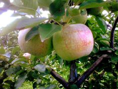 Milwaukee Apple Tree : Adopt One!