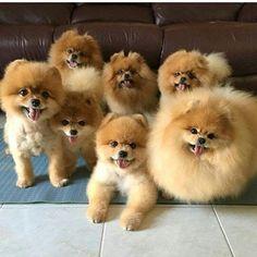1318 Best Pomeranian Appreciation Images In 2019 Cute Dogs
