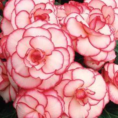 ~~ Picotee White Double Pendula Begonia ~~