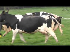 1:54.  Happy cows at Wyke Farms doing the Spring dance - YouTube.  Even grown cows skip and run when they're really happy :)