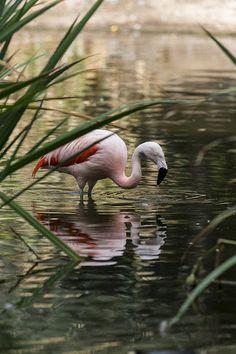 Flamingo's reflection