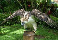 Aguila Monera Habita en las islas Filipinas