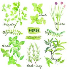 Watercolor clipart herb collection, instant download for kitchen decor, greeting cards, kitchen art prints by CornerCroft on Etsy